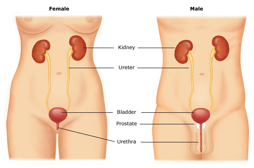 Urinary-tract-anatomy